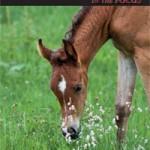 Arabische Pferde 1/2015
