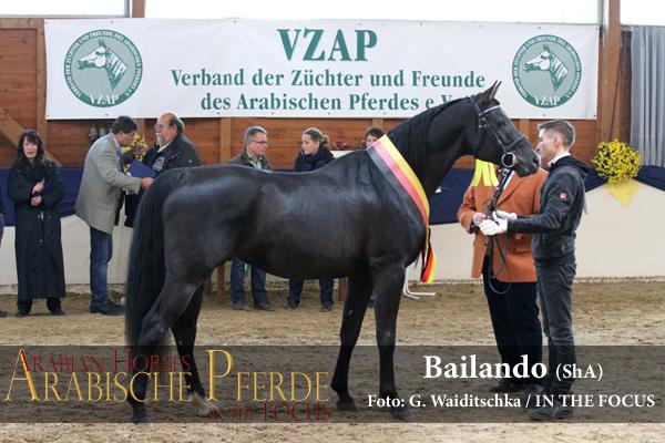 Siegerhengst Körung - Bailando (ShA) (Saklawi I Cz / Bagiera), *2010, Züchter und Besitzer: Doris Wehner, Kalbach