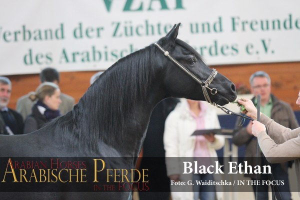 Weiss - Black Ethan (Black Astir / Soraya El Assuad), *2011, Züchter Dr. V. Jacobi, Besitzer: H.A. Keller, Lage