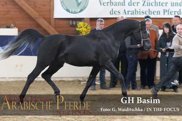 Silber - GH Basim (Black Diamond LDA / GH Abadiya) *2013,Züchter und Besitzer: Frank Dill, Herzberg