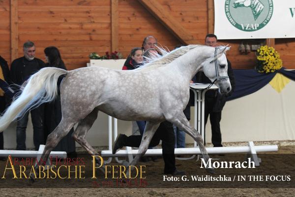 Weiss - Monrach (Al Ayal AA / Virginia Apal), *2012, Züchter: J. Swaenepoel, Belgien; Besitzer: A. Mertini, Geeste