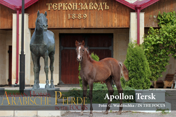 Apollon Tersk als Fohlen