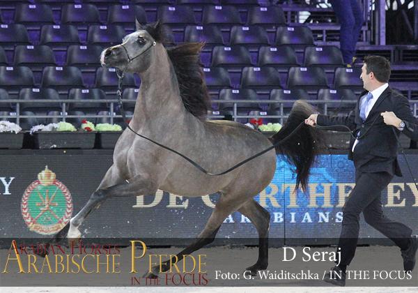 Gold Yearling Champion Colt D Seraj (FA El Rasheem / Ladi Veronica)