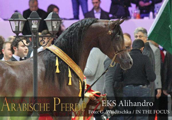 Gold Senior Champion Stallion EKS Alihandro (Marwan Al Shaqab / OFW Psylhouette)