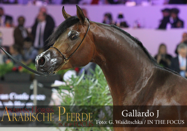 Gold Junior Champion Colt Gallardo J (Emerald J / Gomera J)