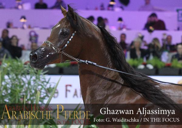Bronze Junior Champion Colt Ghazwan Al Jassimya (Marwan Al Shaqab / Athina El Jamaal)