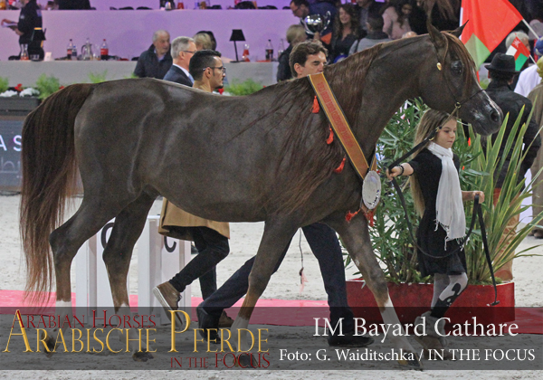 Bronze Senior Champion Stallion IM Bayard Cathare (Padrons Immage / Shamilah Bagheera)