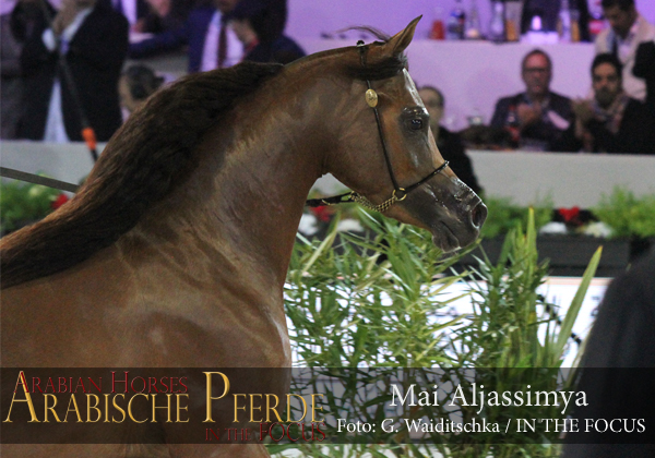 Gold Junior Champion Filly Mai Aljassimya (FA El Rasheem / RP Miss Surprise)