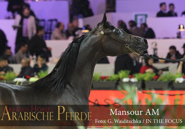Bronze Yearling Champion Colt  Mansour AM (EKS Alihandro / Abha Palma)