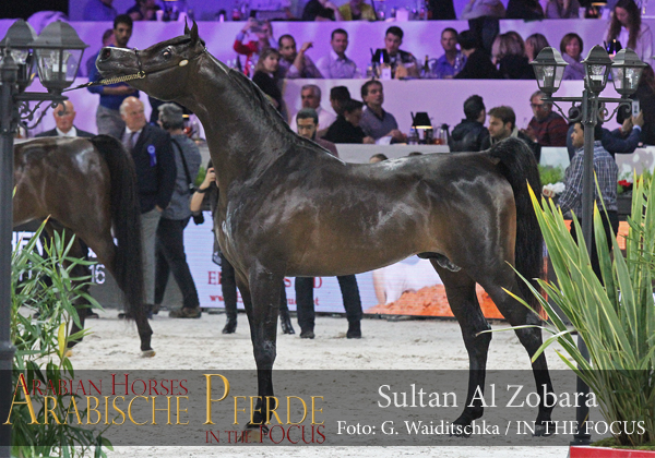 Silver Senior Champion Stallion Sultan Al Zobara (Gazal Al Shaqab / Inra Al Shaqab)