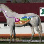 Verdauung beim Pferd - Grafik-300px