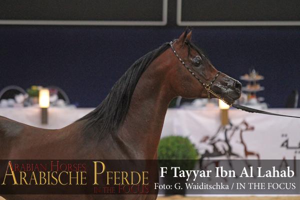 Silber ChampionF Tayyar Ibn Al Lahab (Al Lahab / F Tahani Bint Shamaal)