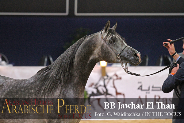 Senioren Gold-Champion BB JAWHAR EL THAN  (Raffael El Than / BB Jhadenz)