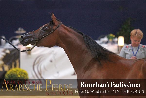 Junioren Gold-Championesse BOURHANI FADISSIMA  (Fadi Al Shaqab / AB Bellisima)