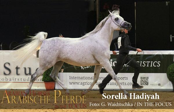 Senioren Gold-Championesse SORELLA EL HADIYAH  (Al Hadiyah AA / Scala El Jamal)