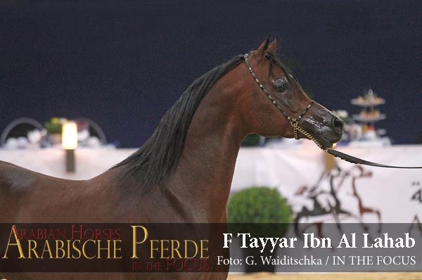 Senioren Silber-Champion F TAYYAR IBN AL LAHAB (Al Lahab / F Tahani Bint Shamaal)