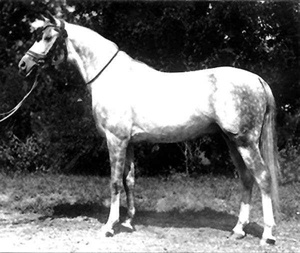 Shagya-Arabian stallion Gazal II, born 1922 in Bábolna (Gazal I, 1903, Bábolna / 74 Shagya XVI-10, 1918, Bábolna). He was chief sire from 1935 to 1953 at Bábolna and as such had great influence in Shagya-Arabian breeding, especially through his son Gazal VII. Both stallions survived the flight to Germany. The origin of this bloodline tails back to the grey stallion Gazlan db, born 1840, purchased from the bedouin tribe of the Anazé Would Ali. The size of the stallion is said to be remarkable. This high growth is strongly consolidated in the genetics of this capital stallion, because the whole bloodline originating from him shows the tendency of a remarkable caliber.