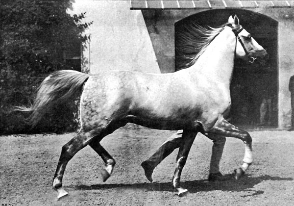 "Shagya-Arabian stallion Koheilan I, born 1888 in Bábolna, (Koheilan Adjuze db, 1876 / 98 Siglavy, 1878, Bábolna). At the World Exhibition in Paris in 1900, this strong stallion became ""Grand Champion"". He inspired the visitors with his noble type, his caliber, the elastic, ground covering movements, as well as the harmony and grace of his appearance. The foundation sire is Koheilan Adjuze db. He came together with O'Bajan db 1885 from Syria to Bábolna. The stallion had very high breeding value, his blood is still alive in the stallion strains and mare families. The dominating genetic power and the  vitality of this strain is demonstrated by the Shagya-Arabian branch as well as in purebred Arabian breeding."