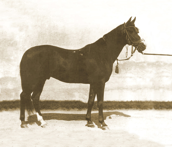 Kuhaylan Zaid db, born 1923, bred by the Ruala bedouins (Kuhaylan Abu Junub / Kuhaylah Al Ziyadah). He was chief sire in Bábolna from 1931 to 1946. In 1930, Carl Raswan and Bogdan Zientarski were commissioned by Roman Sanguszko, the owner of Gumniska Stud, to purchase suitable desertbreds from the country of origin. This was the last opportunity to purchase horses from migrating Bedouins. Bábolna also ordered one excellent stallion. During six months, they looked at about 10.000 horses and finally purchased five stallions and four mares that they transported across the Libanon to Constanta at the Black Sea coast. Kuhaylan Zaid left many foundation mares and two chief sires.