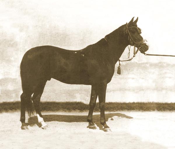 Kuhaylan Zaid db, geboren 1923 bei den Ruala-Beduinen (Kuhaylan Abu Junub / Kuhaylah Al Ziyadah). Er war Hauptbeschäler in Bábolna von 1931 bis 1946. Carl Raswan und Bogdan Zientarski wurden 1930 von Roman Sanguszko, dem Besitzer des Gestüts Gumniska beauftragt, geeignete Wüstenpferde aus dem Original-Zuchtgebiet zu beschaffen. Es war die letzte Gelegenheit, noch Pferde von wandernden Beduinen zu kaufen. Auch für Bábolna sollte ein ausgezeichneter Hengst beschafft werden. Es wurden während sechs Monaten etwa 10.000 Pferde besichtigt und schließlich fünf Hengste und vier Stuten über den Libanon nach Constanta am schwarzen Meer transportiert. Kuhaylan Zaid hinterließ zahlreiche Stammstuten und zwei Hauptbeschäler.