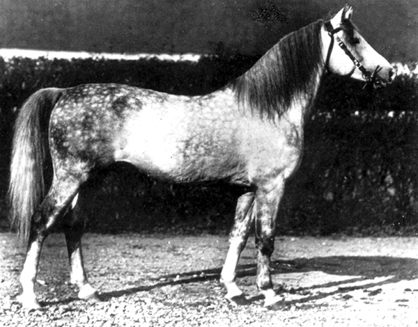 O'Bajan VII, born 1923 in Bábolna (O'Bajan VI, 1908, Bábolna / 197 Shagya XVIII, 1913, Bábolna). O'Bajan VII was a stallion with great balance in all parts of his body. The stallion was like from a mold and exemplifies the ideal synthesis of caliber, expression and distinctiveness, all in correct measurements. The maronite Fadlallah el Hedad, who later became the stud commander of Bábolna, brought from his travels to the Orient several bedouin horses. Among them was the 4-year-old black gem O'Bajan db from Tell el Kelah. He became a pillar of Shagya-Arabian breeding and was chief-sire for 25 years until 1910. He sired 312 foals, of which 112 became provincial sires, and 56 broodmares.