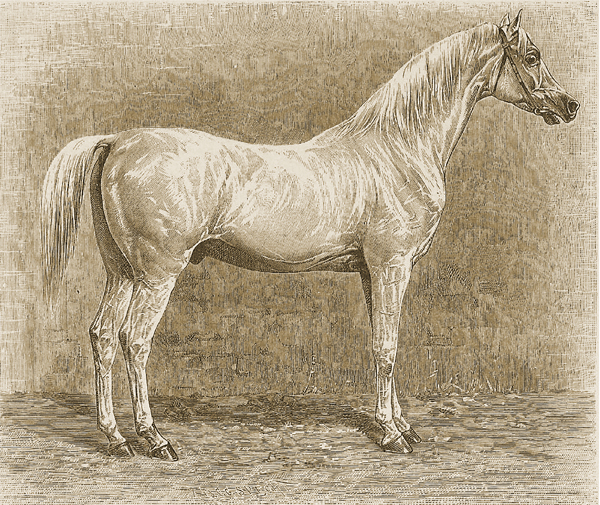 Desertbred stallion Tajar, born 1801 (not to be confused with the stallions at Weil Stud of the same name). He was the ideal for any horse breeder at the beginning of the 19th century. The stallion was purchased by Baron von Fechtig in 1811 at an auction in Cairo, and was owned before by a Mamluk Sheikh, who was killed by Mohamed Ali. Most likely, it was Latif Bey, who bought the stallion from the stud of Murad Bey (in Gizeh, near Cairo), which was destroyed by Napoleon I. When he arrived by ship in Trieste, he was bought by Count Hunyady von Kétely for his stud Ürmény in Hungary. There, he sired 206 foals of excellent quality until 1826.