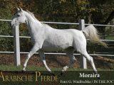 Moraira (Serenity Habib / Messaouda) *2000